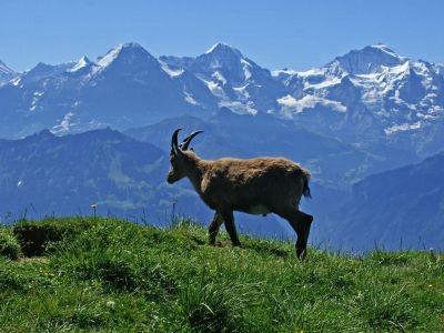 Wandern: Berner Oberland: Geführte Wildbeobachtung – Steinbock-Kolonien am Niederhorn