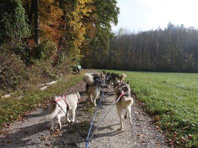 Schlittenhunde - Huskies:  - Schlittenhunde-Passagierfahrt – ohne Schnee