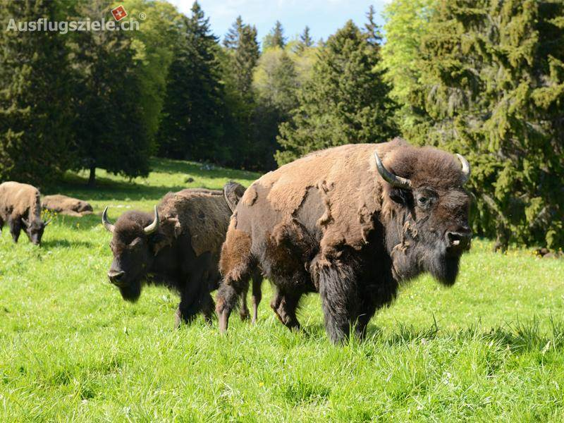 Bison Ranch im Berner Jura