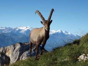 Steinbock Safari Pilatus – mit Übernachtung am Berg